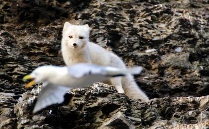 Arctic Fox#}