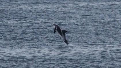 Delfín de hocico blanco#}