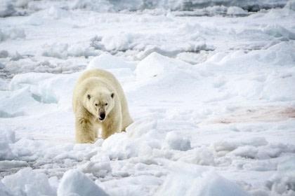 Noord Spitsbergen, Op zoek naar de ijsbeer en pakijs
