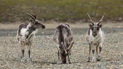 Svalbard reindeer#}