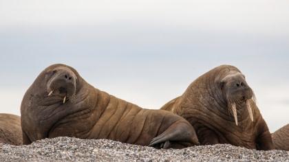 Walrus#}