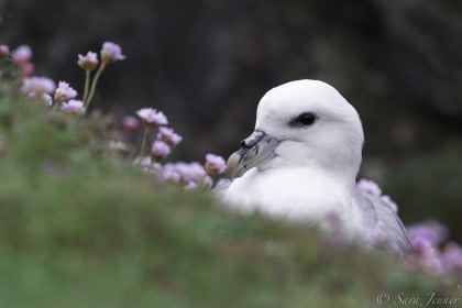 Arctic Ocean Expedition, Helgoland - Fair Isle - Jan Mayen - Ice Edge - Spitsbergen - Birding