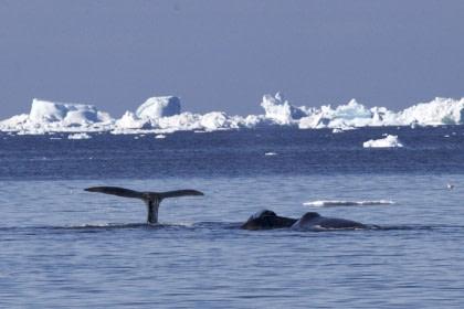 Groenlandse walvissen & ijsberen ip het zee-ijs - Zomerzonnewende - Vogelspotten