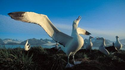 Albatros errante#}