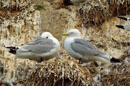 Nordkapinsel, Seevogelkolonien
