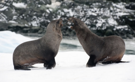 Disagreeing Fur Seals