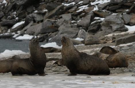 Fur Seals at South Orkneys