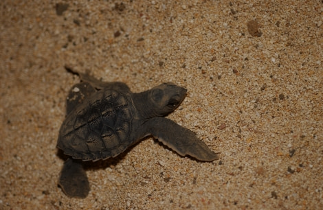 Baby Green Turtle of Ascension