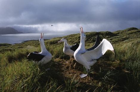 First practice in flying (Wandering Albatross)
