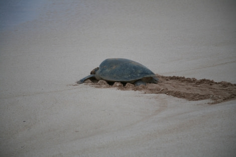 Green Turtle returning to the sea