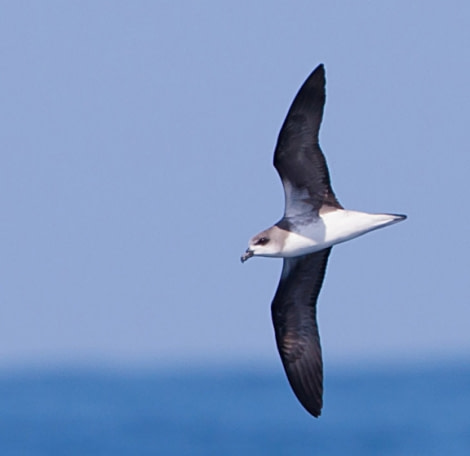 Cape Verde Petrel © Pablo Gutierrez - Oceanwide Expeditions