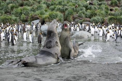 Elephant Seals, Gold Harbour, South Georgia