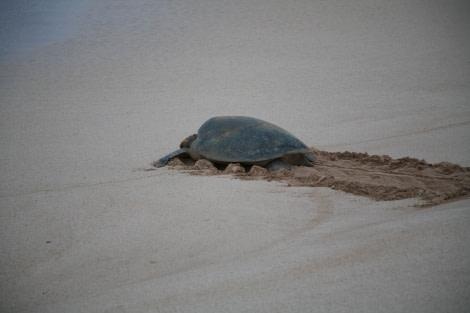 Green Turtle, Ascension Island