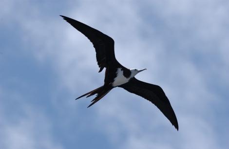 Ascension Frigate Bird, Ascension Island