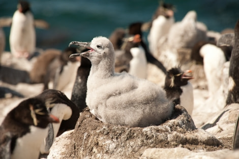 Rockhopper & Black-browed Albatross colony, Falkland Islands