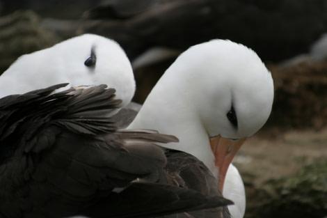 Black-browed Albatross, New Island, Falkland Islands