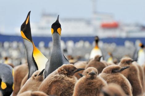 King Penguins_Salisbury Plain-South Georgia_November