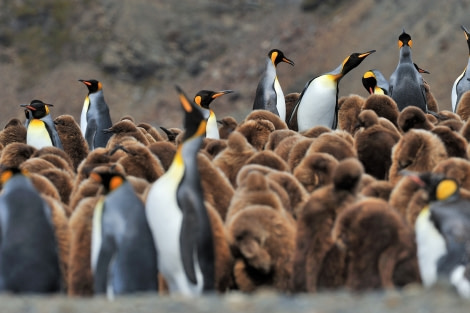 King Penguins_Fortuna Bay_South Georgia_November