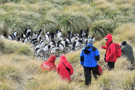 Macaroni Penguins_Cobbler's Cove_South Georgia_November