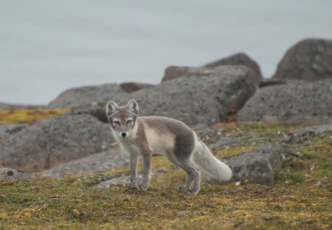 Arctic Fox, Spitsbergen, August © Erwin Vermeulen-Oceanwide Expeditions (2).jpg