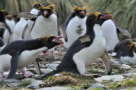 Macaroni Penguins, Cobblers Cove, South G, Nov © Martin van Lokven-Oceanwide Expeditions (2)
