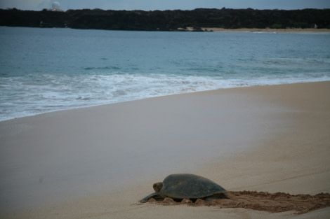Green Turtles, Ascension Island, Atlantic Odyssey © Rob Tully-Oceanwide Expeditions (1).JPG