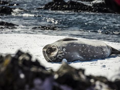 Antarctica, Weddell Seal © Dietmar Denger-Oceanwide Expeditions.jpg