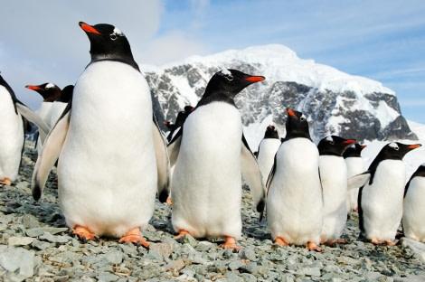 Gentoo Penguins on Danco island, Antarctica © Martin van Lokven - Oceanwide Expeditions.jpg