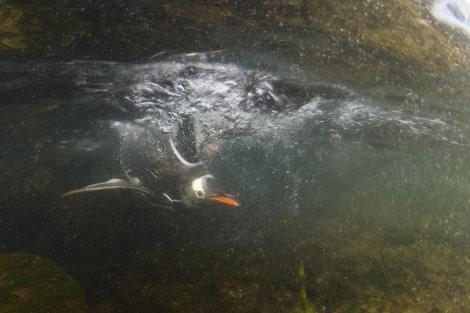 Gentoo penguin Diving Antarctica, Polar Diving
