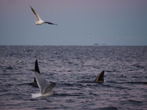 Orca, North Norway © Christian Engelke - Oceanwide Expeditions.jpg