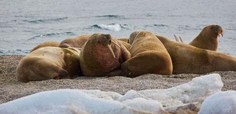 North Spitsbergen Polar Bear Special, June © Markus Eichenberger-Oceanwide Expeditions (92).jpg