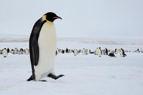 Emperor Penguins, Snow Hill Island, Weddell Sea, Antarctica © James Cresswell, Geo World Travel-Oceanwide Expeditions (24).jpg