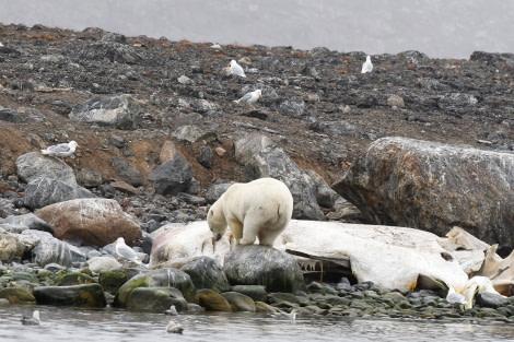 Danskoya; polar bear; sperm whale; carcas; Svalbard-aug2017-Geert_Kroes-016.jpg