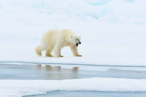 Polar bear on the pack ice © Geert Kroes - Oceanwide Expeditions.jpg