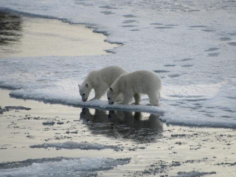 Polar bear, Svalbard, June © Michael Greenberg-Oceanwide Expeditions (4).JPG