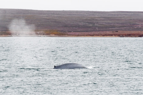Blue whale at Woodfjord, Svalbard © Geert Kroes - Oceanwide Expeditions.jpg