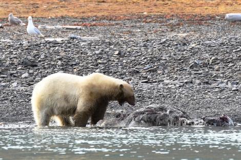 Freemansundet, polar bear with walrus carcass © Geert Kroes - Oceanwide Expeditions.jpg