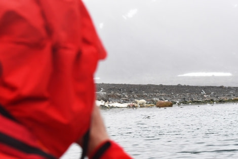 Danskoya, polar bear with sperm whale carcass; © Geert Kroes - Oceanwide Expeditions.jpg