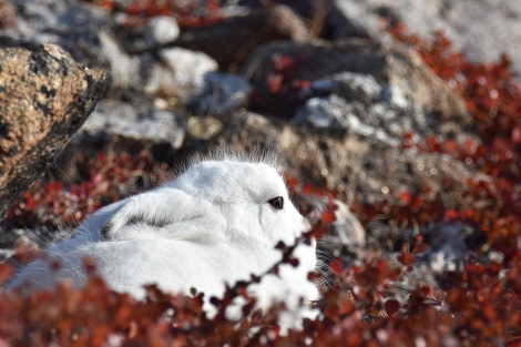 Arctic Hare, Scoresby Sund © Asa Lindgren - Oceanwide Expeditions.jpg