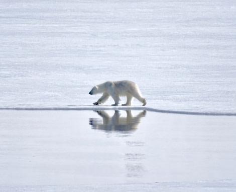 Polar bears, Svalbard, Juli © Nikki Born-Oceanwide Expeditions (1).jpg