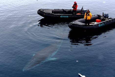 Minke whale, zodiacs