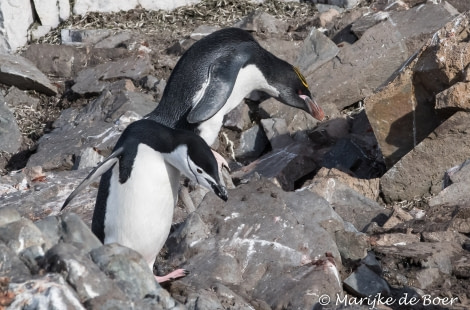 PLA31-19, DAY 07, 28 MAR Penguin - Oceanwide Expeditions.jpg