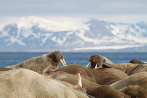 Walrus at poolepynten © Photogapher unknown - Oceanwide Expeditions