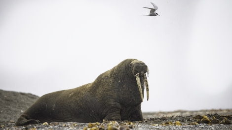 HDS08-19 DAY 09_Walrus 5 -Oceanwide Expeditions.jpg