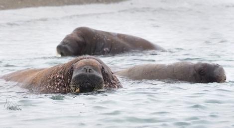 HDS08-19 DAY 09_Poolepynten walrus -Oceanwide Expeditions.jpg