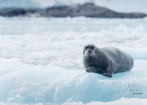 Bearded seal on an ice floe © Melissa Scott - Oceanwide Expeditions