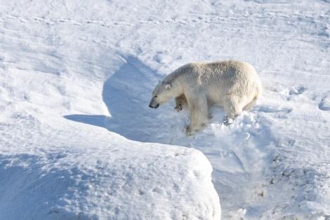 Polar bear, Svalbard, June © Ilja Reijnen-Oceanwide Expeditions (49).jpg