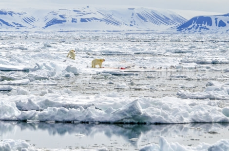 Polar bear, Svalbard, Spitsbergen, pack ice, June © Ilja Reijnen-Oceanwide Expeditions  (8).jpg