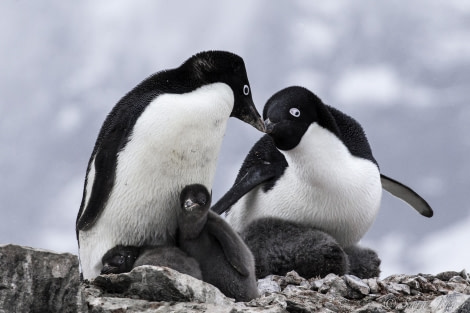 Adelie penguins 7 6x4 © Sara Jenner - Oceanwide Expeditions.jpg