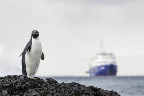 Adelie penguin 5 6x4 © Sara Jenner - Oceanwide Expeditions (1).jpg